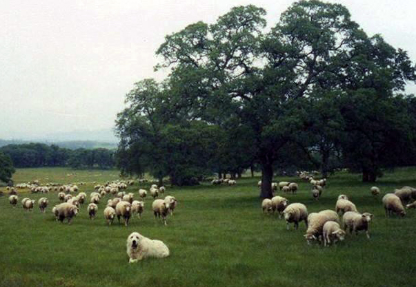 1 Sheep Grazing Oak Woodlands