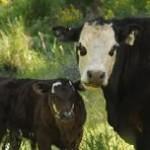 229_12-04_cows_3