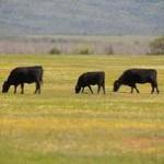 229_12-04_cows_5