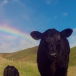 Calf with Rainbow, Erik Gantenbein, San Ramon