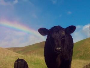 Calf with Rainbow, Erik Gantenbein, San Ramon