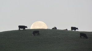 Full-Moon-Arleah-Fields-Coyote