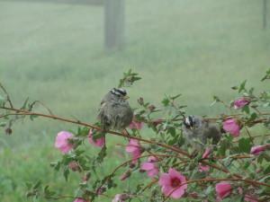 Happy-Birds-Jodi-Fields-Coyote