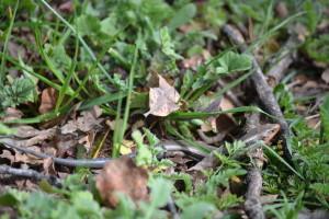 Stilton's Skink in Leaf Litter, Wendell Gilgert, Chico