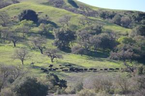 Trailing Pairs, Arleah Fields, Coyote