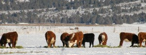 Yearlings in Winter in Modoc County, Kathy DeForest, Adin